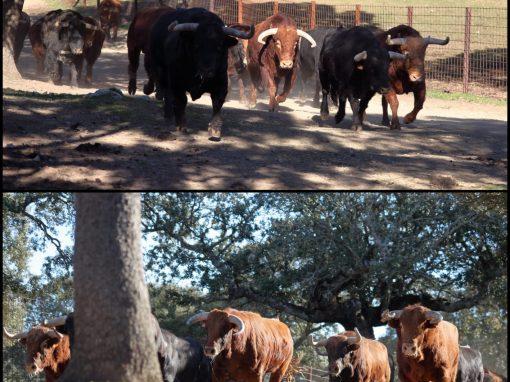 Ganadería de toro de lidia de primera categoría en 4×4, Salamanca
